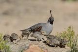 USA  Arizona  Amado Male Gambel's Quail and Chicks on a Rock