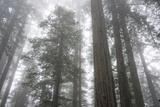 Lady Bird Johnson Grove  Prairie Creek Redwoods SP  California