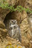 USA  Colorado  Larimer County Great Horned Owl on Rocky Ledge