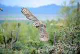Great Horned Owl in Flight  also known as the Tiger Owl