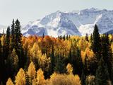 Colorado  San Juan Mountains  Autumn Aspens Below Snowy Mountains