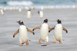Gentoo Penguin Walking to their Rookery, Falkland Islands Papier Photo par Martin Zwick
