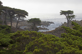 USA  California  Monterey Monterey Cypress Trees Along 17-Mile Drive