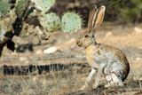 An Antelope Jackrabbit (Lepus Alleni) Alert for Danger Papier Photo par Richard Wright