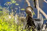 Anhinga Drying its Wings  Anhinga Trail  Everglades NP  Florida