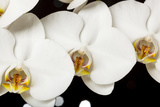 USA  Oregon  Keizer  Hybrid Orchid