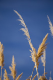 Washington  Walla Walla Co Mcnary NWR  Ravenna Grass  Pampas Grass
