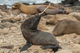 Ecuador, Galapagos National Park. Sea Lion Playing with Stick Papier Photo par Cathy & Gordon Illg