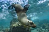 Galapagos Sea Lion Underwater, Galapagos, Ecuador Papier Photo par Pete Oxford