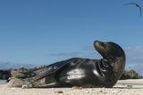 Galapagos Sea Lion, Galapagos, Ecuador Papier Photo par Pete Oxford