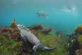 Marine Iguana Underwater, Fernandina Island, Galapagos, Ecuador Papier Photo par Pete Oxford