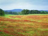 USA  Arkansas Blooming Scarlet Clover in Boston Mountains