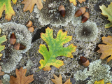 California  Cleveland NF  Acorns and Black Oak Leaves on a A Rock