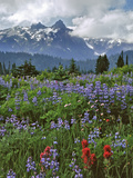 Washington State  Mount Rainier NP Lupine and Paintbrush in Meadow