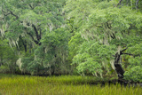 South Carolina  Charleston  Edisto Beach SP Oak Trees Next to Swamp
