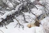 Rocky Mountain Bull Resting During Snowstorm
