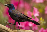USA  North Carolina  Guilford County Close-up of Common Grackle