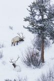 Rocky Mountain Bull Elk During Snowstorm
