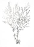 Silver Foil Algae I Reproduction d'art par Jennifer Goldberger