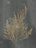 Gold Foil Algae II on Black Reproduction d'art par Jennifer Goldberger