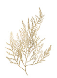 Gold Foil Algae II Reproduction d'art par Jennifer Goldberger