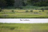 A Mallard Duck and Her Ducklings Swim Through the Marsh