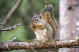 An American Red Squirrel  Tamiasciurus Hudsonicus  Nibbles on a Nut