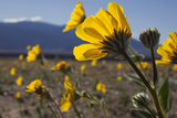 Wildflowers Bloom Along Highway 190 North of Furnace Creek in Death Valley National Park