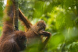 A Bornean Orangutan  Pongo Pygmaeus  with a Youngster Clinging to a Tree Trunk