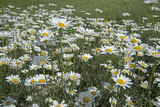 Oxeye Daisies  Leucanthemum Vulgare  an Introduced Species  Crowd a Meadow Near Big Sky  Montana
