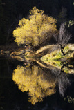 A Scenic Autumn Landscape of a Willow Tree and its Reflection in the Merced River