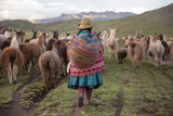 A Quechua Woman Herding Llamas  Alpacas  and Sheep Back to Town from Grazing in the Mountains
