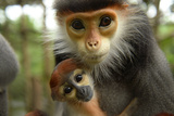 An Endangered Red-Shanked Douc Langur  Pygathrix Nemaeus  Holds Her Infant