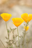 California Poppies  Eschscholzia Californica  Grow in Bear Valley in Pinnacles National Park