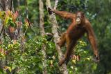 A Bornean Orangutan  Pongo Pygmaeus  Swinging from a Tree Trunk