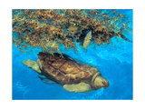 Loggerhead and Dolphins in Sargassum Sea  2000