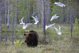 European Brown Bear  Ursus Arctos Arctos  Walking Followed by Black-Headed Gulls  Larus Ridibundus