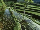 A Rice Field in Tirtagangga