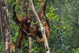 Two Bornean Orangutans  Pongo Pygmaeus  Swinging Through the Tree Tops