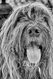 Portrait of a Briard Dog in Central Park