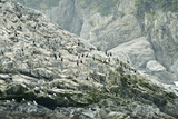 Pelagic Cormorants on the Rocky Shore of the Inian Islands