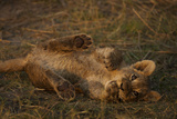Portrait of a Lion Cub Biting it's Paw as it Rolls in the Grass