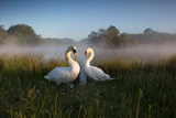 A Pair of Mute Swans  Cygnus Olor  Emerge from the Water on a Misty Morning in Richmond Park
