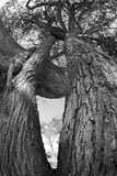 Low Angle View of a Two Trees with Intertwining Branches