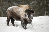 Portrait of a Snow-Dusted American Bison  Bison Bison  after a Refreshing Roll in the Snow