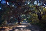 Oak Trees Shade a Dirt Road