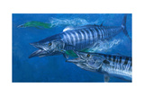 Two Wahoo  1986: Two of the Fastest Fish in the Sea Close in on Colorful Trolling Lures