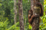 A Bornean Orangutan  Pongo Pygmaeus  Clinging to a Tree Trunk