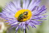 A Sweat Bee  Agapostemon Species  Collects Pollen from a Boltonia Flower  Boltonia Asteroides