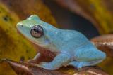 A Powder Blue Mountain Frog  Philautus Asankai  in the Sinharaja Forest Reserve